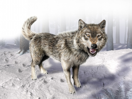 timber wolf: Wolf growling standing on snow  With fading forest on the background