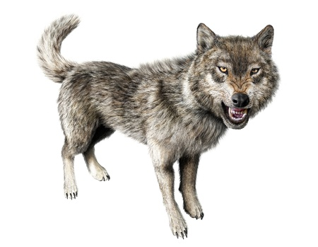 Wolf growling standing on white background  With clipping path included
