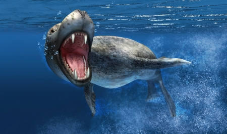 leopard head: Leopard seal with close up on head and open mouth showing sharp teeth  Swimming under water, with blue ocean background