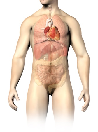 abdominal: Man anatomy internal organs, with the heart spotted and the rest of organs in half tone  Clipping path included