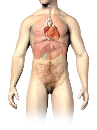 intestino grueso: �rganos internos de la anatom�a del hombre, con el coraz�n manchado y el resto de �rganos en medio camino de recortes tono de incluidas Foto de archivo