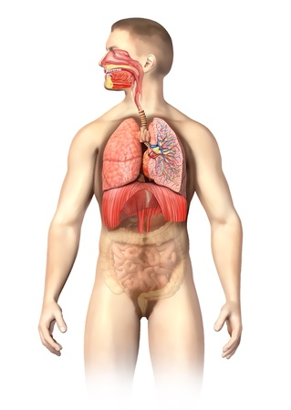 small intestine: Man anatomy Respiratory system cutaway, including mouth  The other organs, are visible in half tones  On white background with clipping path  Stock Photo