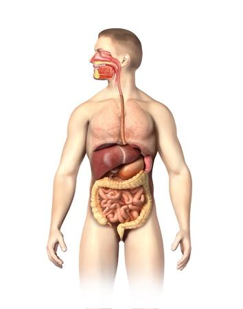 intestin: Man anatomie du syst�me digestif en coupe, y compris la bouche des autres organes, sont visibles en demi-teintes sur fond blanc avec chemin de d�tourage