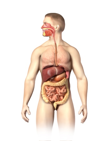 large intestine: Man anatomy digestive system cutaway, including mouth  The other organs, are visible in half tones  On white background with clipping path