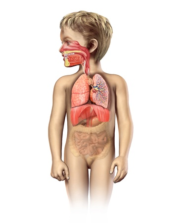 respiratory: Child anatomy full respiratory system cutaway  Including mouth and nasal cross section  Other organs in half tone  On white background with clipping path  Stock Photo