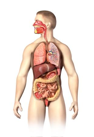 intestino grueso: Hombre de la anatom�a respiratoria completa y sistemas digestivos recortadas M�s detalles en cortes se realizan en diferentes �rganos, incluyendo la boca sobre fondo blanco con trazado de recorte Foto de archivo