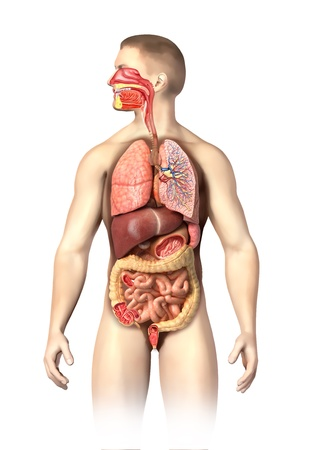 large intestine: Man anatomy full Respiratory and digestive systems cutaway  Further details cutaways are made on different organs,including mouth  On white background with clipping path