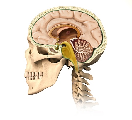 Very detailed and scientifically correct human skull cutaway, with all brain details, mid-sagittal side view, on white background  Anatomy image