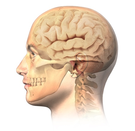 cortex: Male human head with skull and brain in ghost effect, side view  Anatomy image, on white background, with clipping path