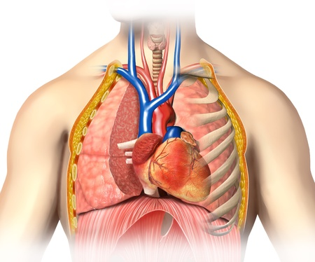 Man anatomy thorax cutaway with heart with main blood veins, arterias and lungs