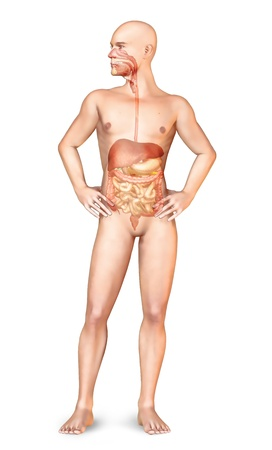 Male naked body standing, with full digestive system superimposed  On white background with clipping path included Stock Photo - 19893695