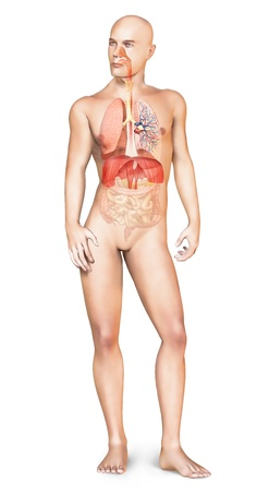 Man naked body standing, with full respiratory system superimposed  On white background with clipping path included  photo