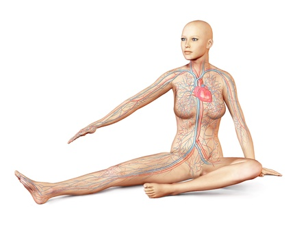 Female naked body sitting in dynamic unusual posture, with full circulatory system superimposed  On white background, with clipping path included  photo