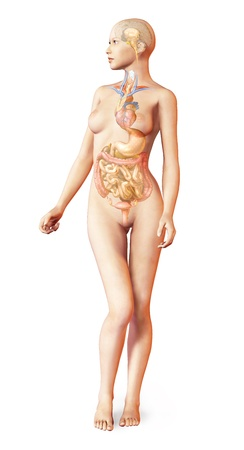 Female naked body, with full endocrine system superimposed  Anatomy image  On white background with clipping path included  photo