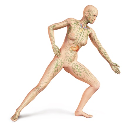Female naked body, in dynamic posture, with full Lymphatic system superimposed  Anatomy image  On white background, with clipping path included  photo