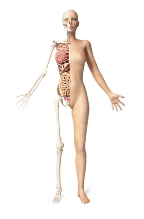 Naked woman body standing, with half cutaway showing skeleton and all internal organs  Front view, on white background, With clipping path included  photo