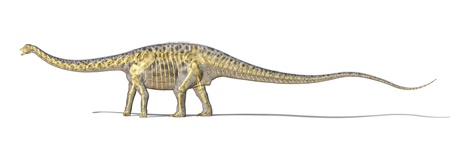 diplodocus: Diplodocus dinosaur photo-realistc rendering, with full skeleton superimposed. On white background with clipping path.