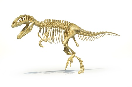 scientifically: Gigantosaurus dinosaurus full photo-realistic skeleton, scientifically correct. Perspective view, On white background with clipping path.