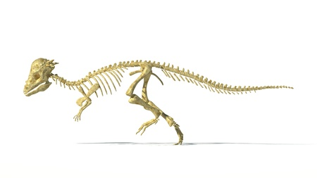 prehistoric animals: Pachycephalosaurus dinosaur, full photo-realistic skeleton, scientifically correct. Side view On white background. WIth drop shadow and clipping path included. Stock Photo