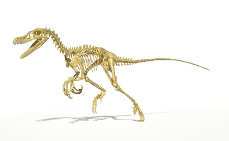 scientifically: Velociraptor dinosaur, full skeleton scientifically correct, with drop shadow on white background. Clipping path included.
