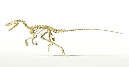 scientifically: Velociraptor dinosaur, full skeleton scientifically correct, side view, with drop shadow on white background. Clipping path included.