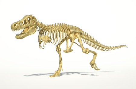 skeleton: T-Rex dinosaur full skeleton, photo-realistic, scientifically correct. Perspective view on white background with drop shadow and clipping path.