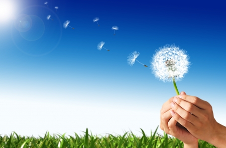 Man hands holding a dandelion flower, with some spores flying away Green grass and blue sky with sun, in the background