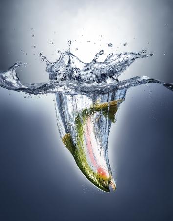 trucha: Pescados de color salmón salpicando en el agua formando una mancha corona sobre la superficie y un rastro de agua bajo