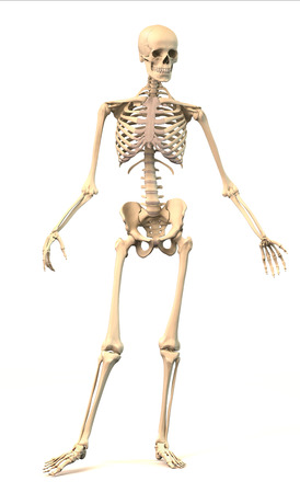 Male Human skeleton, extremely detailed and scientifically correct, in dynamic posture, front view  On white background, clipping path included  Anatomy image