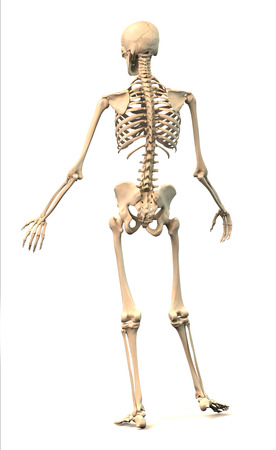 extremely: Male Human skeleton, extremely detailed and scientifically correct, in dynamic posture, rear view  On white background, clipping path included  Anatomy image