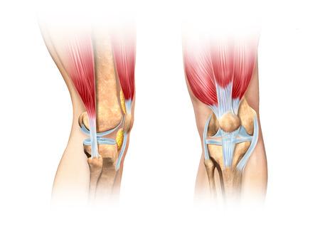 인간의 무릎 절개 그림입니다. 측면 및 전면 뷰는 과학적으로 정확한 단면 표현을 자세히 설명합니다. 흰색 배경에 클리핑 패스가 포함되어 있습니다.  스톡 콘텐츠