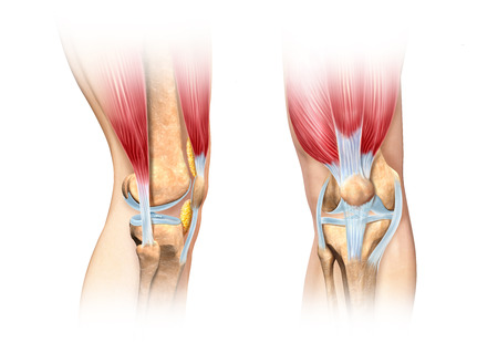 scientifically: Human knee cutaway illustration. Side and front views detailed, scientifically correct cross section representation. On white background, with clipping path included. Anatomy image.