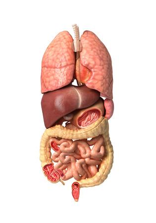 organos internos: La anatom�a humana masculina, �rganos internos por s� solos, los sistemas digestivo y respiratorio completo, con algunos �rganos de corte. Sobre fondo blanco con trazado de recorte.