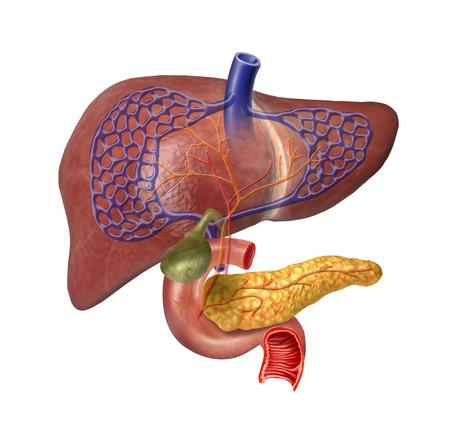 pancreas: Syst�me Foie humain en coupe, le pancr�as, duod�no, la v�sicule biliaire, des veines et Arterias. Sur fond blanc avec chemin de d�tourage inclus.