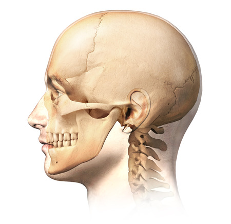 Male human head with skull in ghost effect, side view. Anatomy image, on white background, with clipping path.