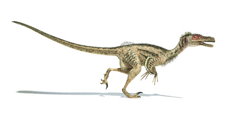 Velociraptor dinosaur, side view, scientifically correct, with feathers. Drop shadow on white background.