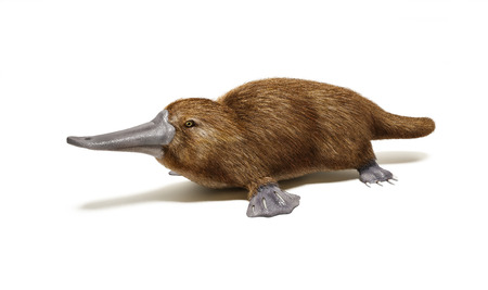 Platypus duck-billed animal  On white background with drop shadow Reklamní fotografie - 26579913