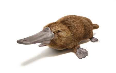 Platypus duck-billed animal  On white background with drop shadow