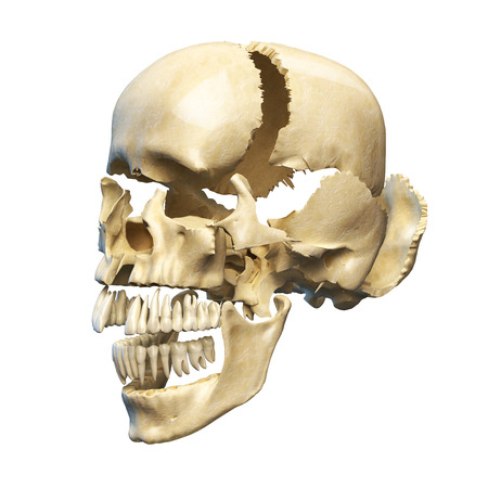 eye sockets: Human skull with parts exploded  Perspective view, on white background  Clipping path included
