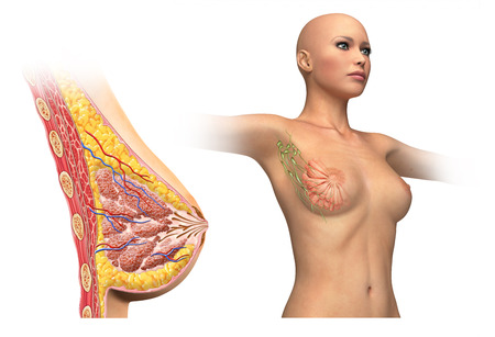 Woman breast cutaway, cross section diagram  With also woman figure showing limphatic glands  On white background and clipping path  Anatomy image