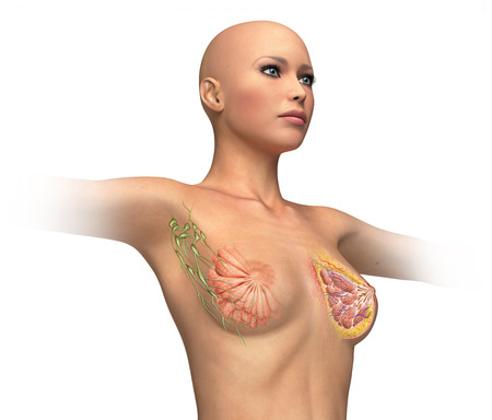 Woman torse with breast cutaway, cross section  On white background and clipping path  Anatomy image  photo
