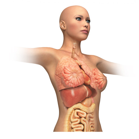 sigmoid colon: Woman body trunk, with interior organs superimposed  On white background and clipping path  Anatomy image  Stock Photo