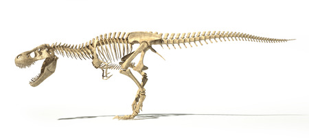 T Rex dinosaur photo-realistic and scientifically correct, full skeleton in dynamic poses, side view. On white background with dropped shadow, clipping path included.