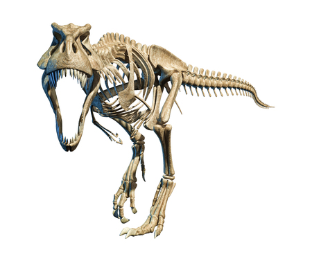 T Rex photo-realistic and scientifically correct, full skeleton in dynamic pose, on black background. Front view. With clipping path included.