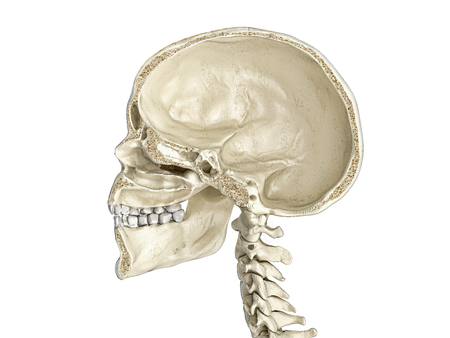 Human skull mid sagittal cross-section, side view. On white background. Imagens