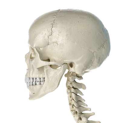 Human skull  viewed from a side. On white background.