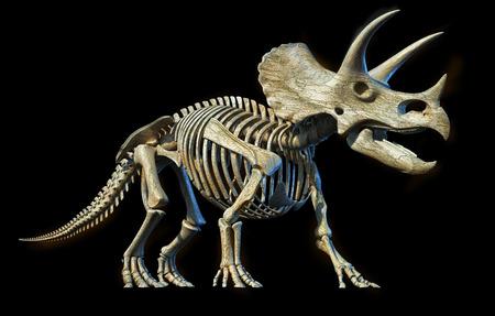 Triceratops skeleton 3d rendering perspective view on black background. Imagens