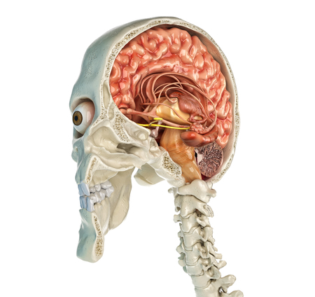 Human skull mid sagittal cross-section with brain. Perspective view on white background.