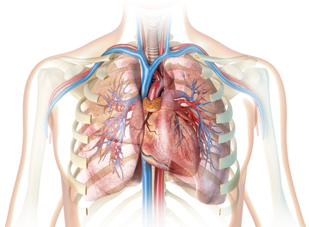 Coeur humain avec vaisseaux et cage thoracique coupée. Sur fond blanc.