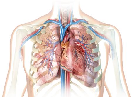 Corazón humano con vasos y caja torácica cortada. Sobre fondo blanco.